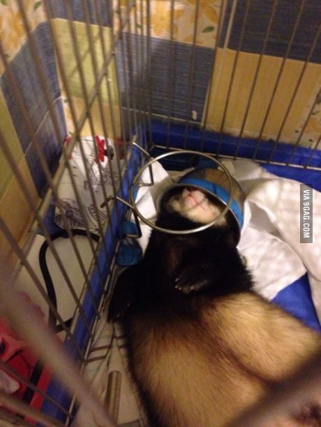 Helmet. ferret sleeps with a bowl on her head