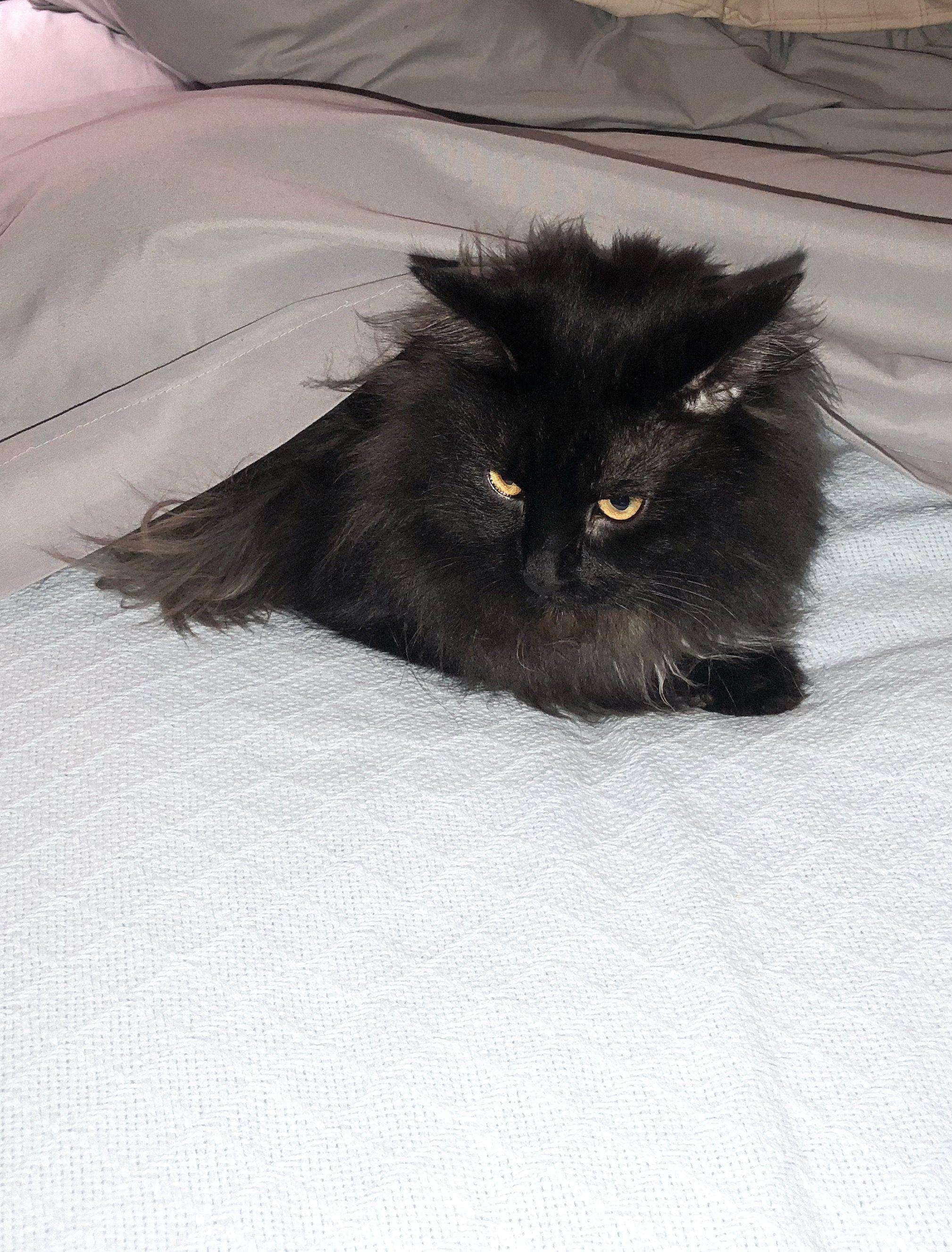 Fluffy Black Cat Beautiful Cats I Love Cats