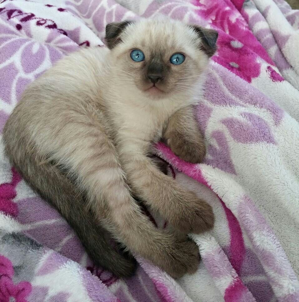 Female Siamese Scottish Fold Scottish Fold Kittens Scottish Fold Kitty