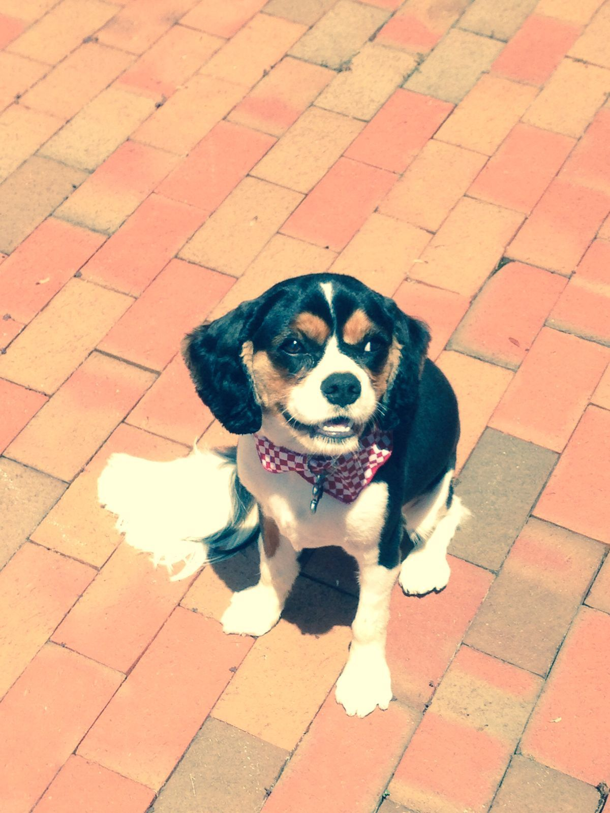 Pin By Cheryl Eckert On Love Of Dogs Cavalier King Charles King