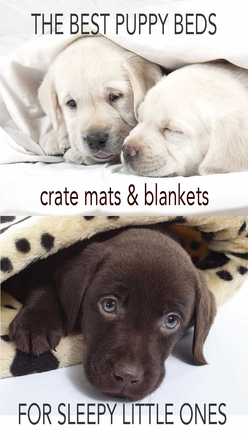 Labrador Puppy Beds and Bedding Puppy beds, Puppies