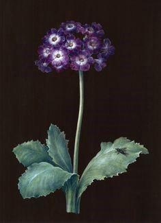 Barbara Regina Dietzsch   Auricula primrose