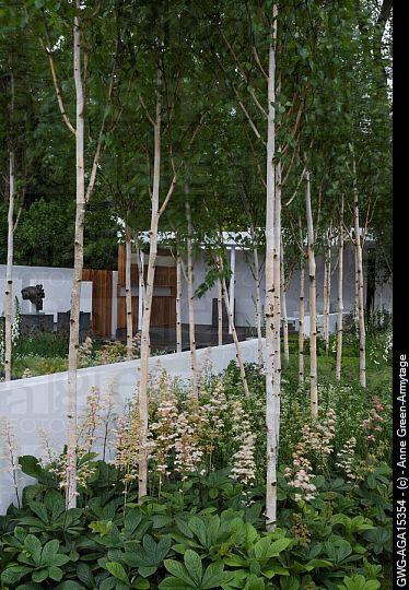 How Close Together Can You Plant Silver Birch Helpful Pdf Notes Here Http Stonelanegardens Com Wp Con Garden Design Birch Trees Garden Landscape Design