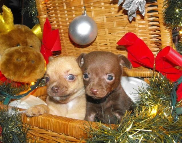 Little Baby Chihuahua Puppies Chihuahua Puppies Baby Chihuahua