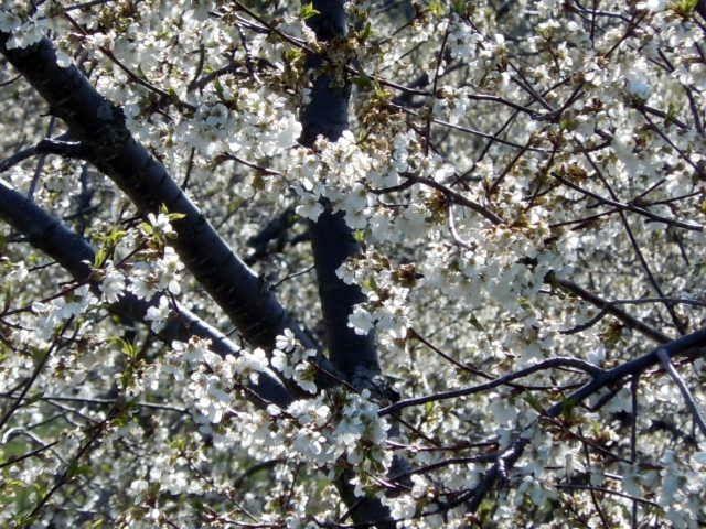 Traverse City Mi Cherry Blossoms Traverse City City Best Places To Live