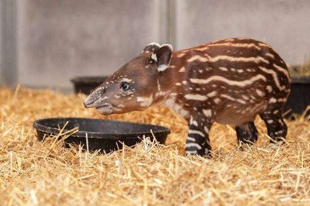 Do you feel under-appreciated and ignored? | Instantly Improve Your Day With This Magical Baby Tapir
