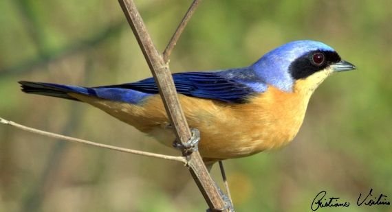 Saíra-viúva (Pipraeidea melanonota)