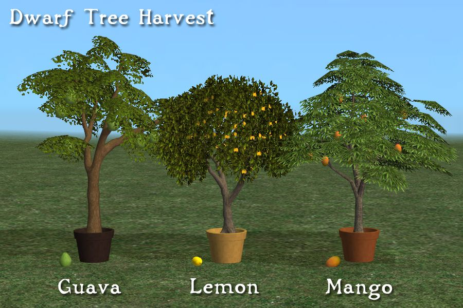 Dwarf guava, lemon, & mango trees at harvest  | OLD JOE HAD