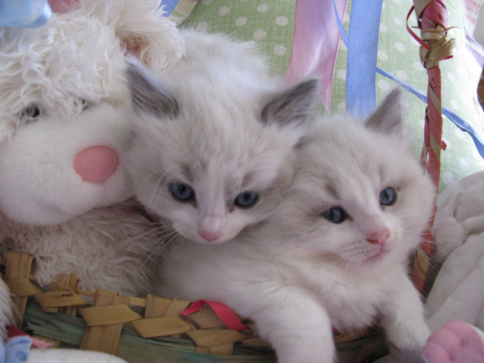 Ragdoll Kittens For Sale In Houston Ragdoll Kittens For Sale Ragdoll Kitten Kittens
