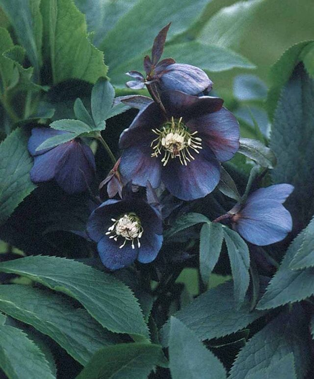 Hellebore Means Food For A Fawn In Greek Hellebore S Toxic Flowers Were Once Used To Create Poison Tip Arrows And Folklore Black Flowers Lenten Rose Flowers