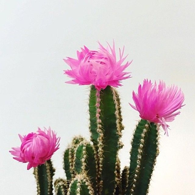 Pink prickles by neonandnest cactus pinterest cacti plants flower power mightylinksfo Image collections