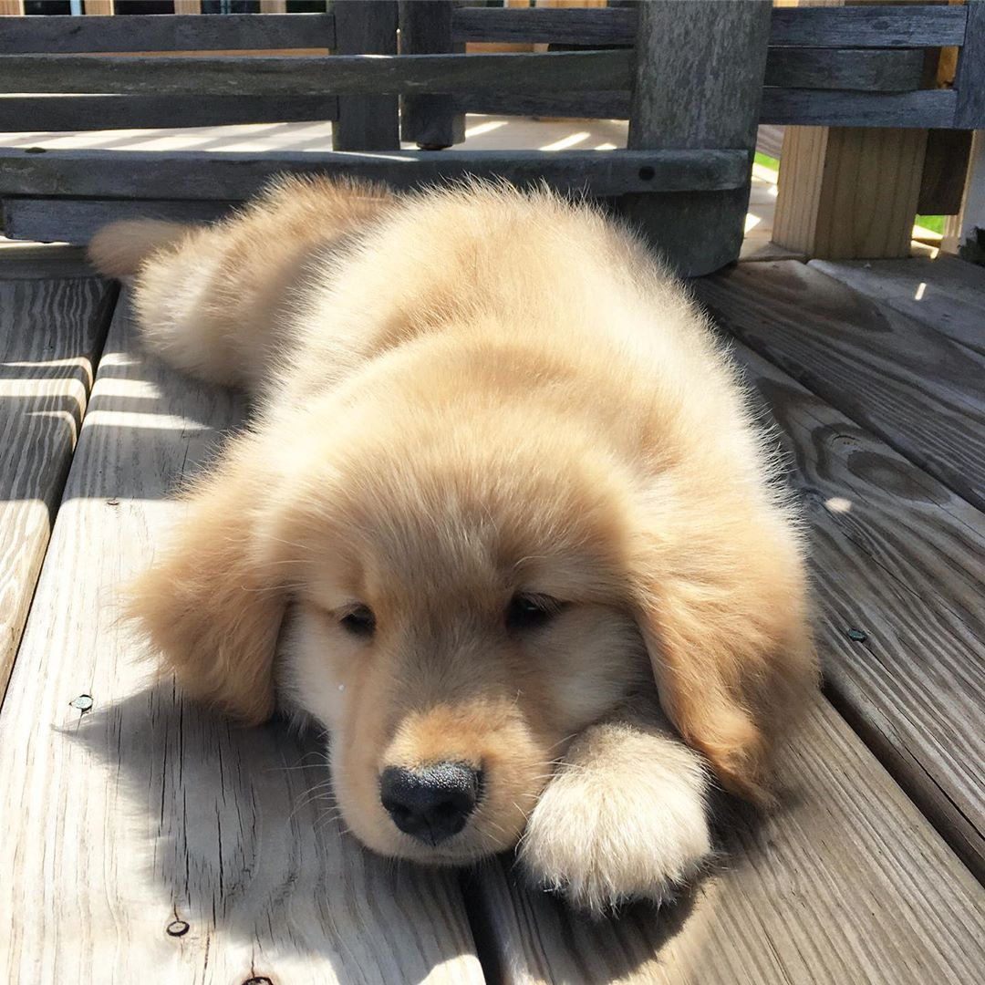 Whiskey The Golden Retriever On Instagram Remember That One Time