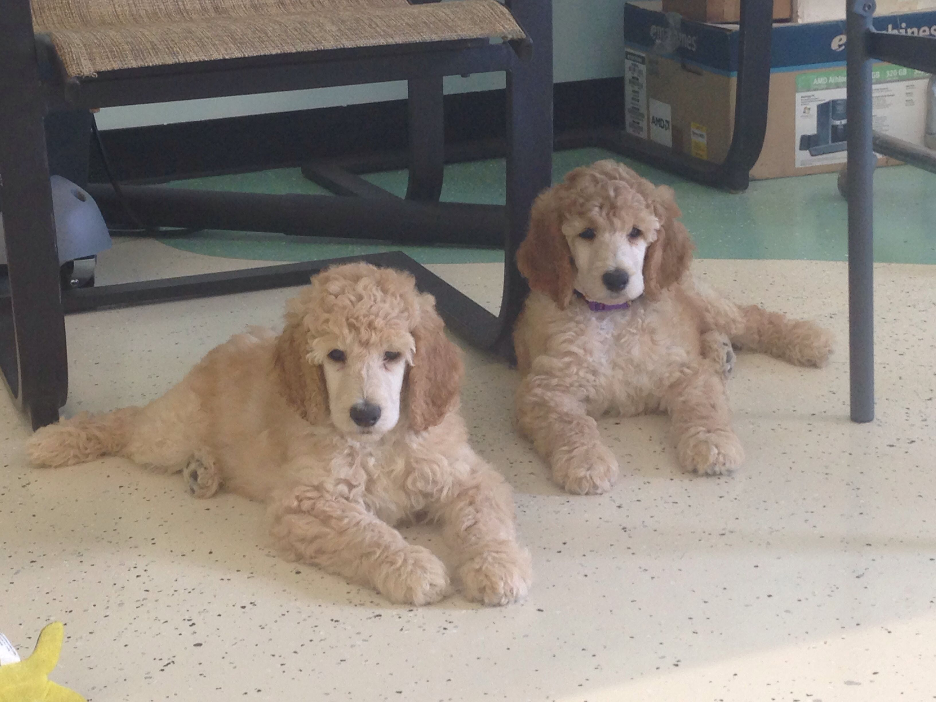 Standard Poodle Puppies Sire Texas Cowtown Cash Dam Miss Ellie