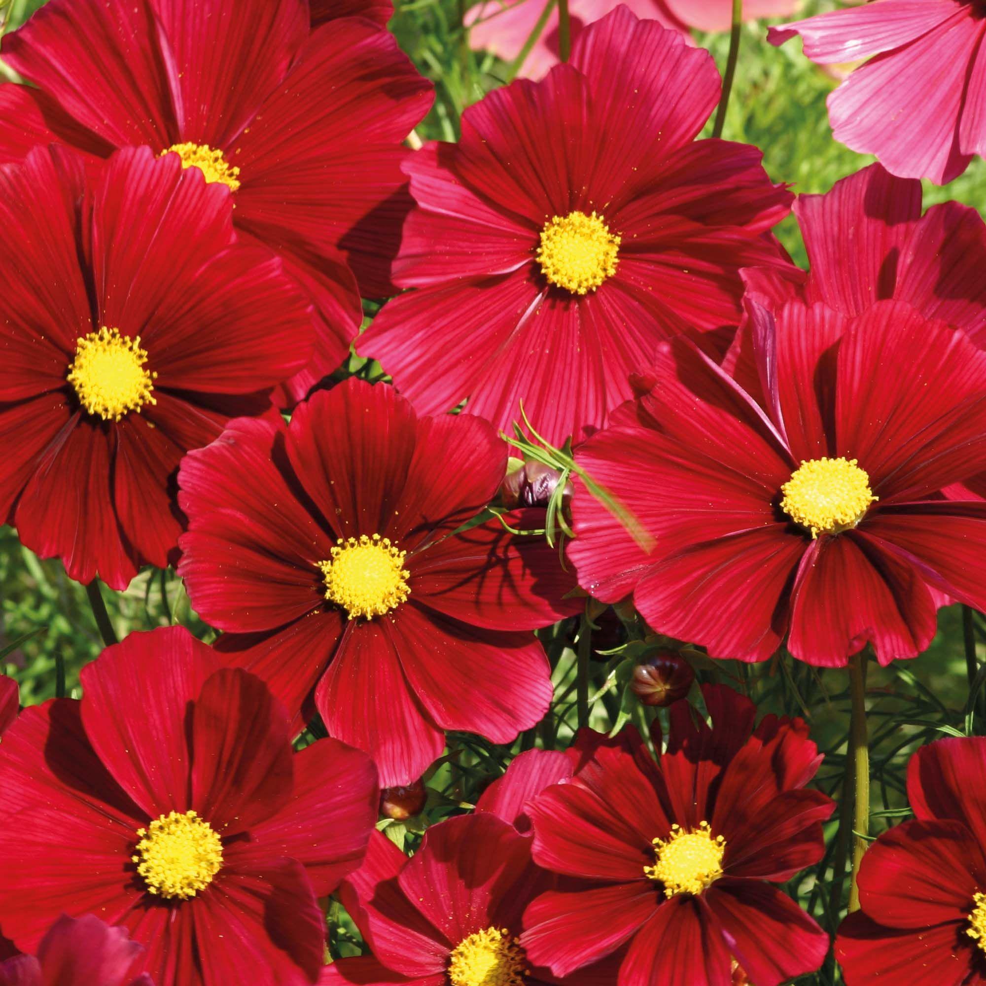 Cosmos bipinnatus rubenza cosmos seeds and gardens cosmos bipinnatus rubenza half hardy annual seeds thompson izmirmasajfo Gallery