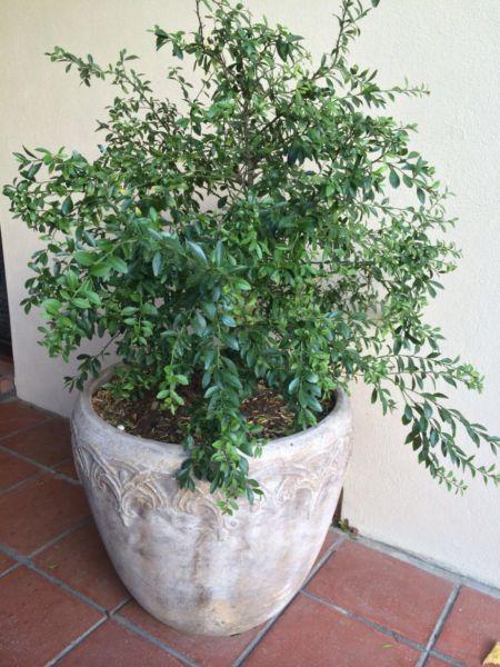 Finger Lime Tree Plants Gumtree Australia Burnside Area Hazelwood Park 1078056329 Trees To Plant Plants Lime Tree