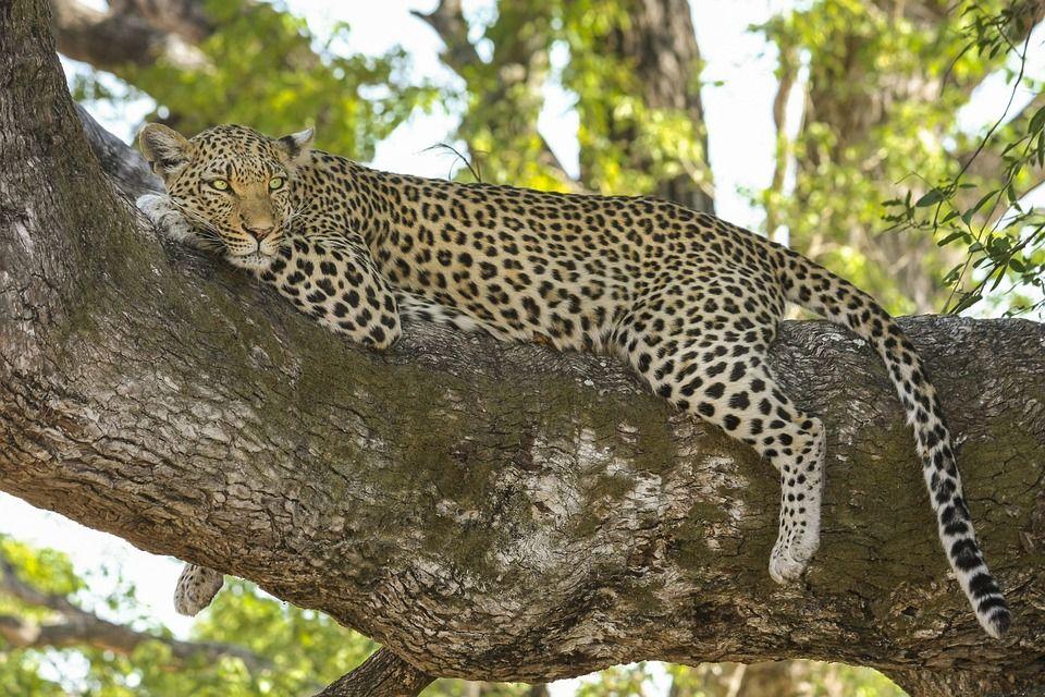 Free photo Leopard, Wildcat, Big Cat, Safari Free Image