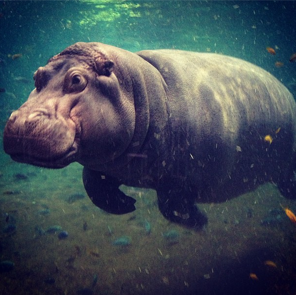 Q: What could be better than seeing a #hippo underwater? A: Not much! |  Hippo, Aquarium, Adventure