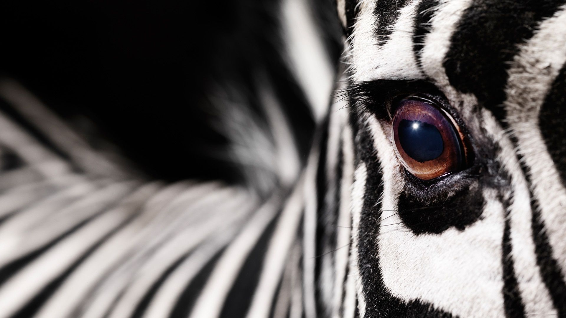 download zebra wallpaper app gallery 1920a—1200 zebra images wallpapers 45 wallpapers