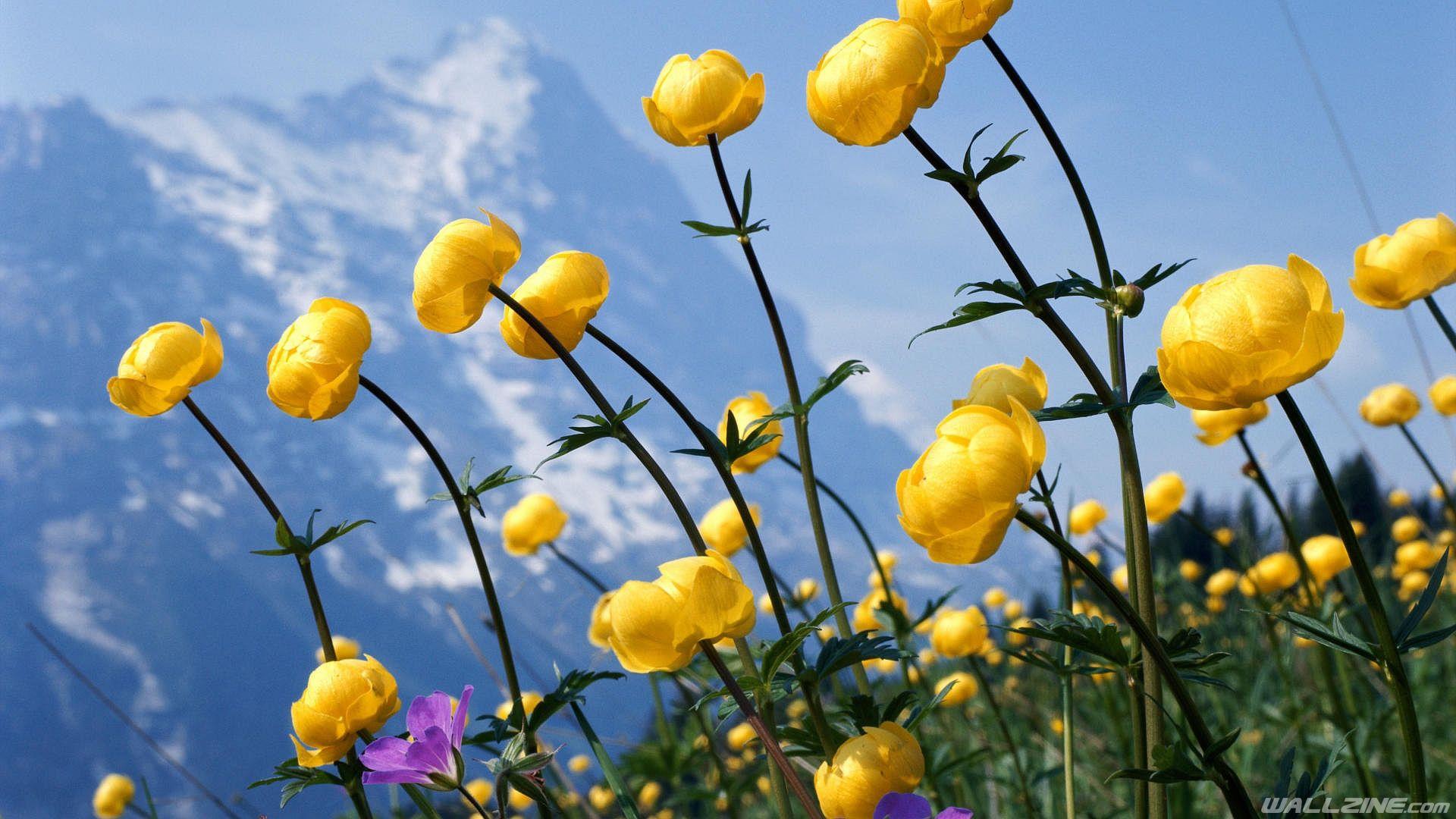 Free Wildflowers Hd Desktop Wallpaper Wallzine Com Alpine Flowers Perennial Plants Flower Images Wallpapers