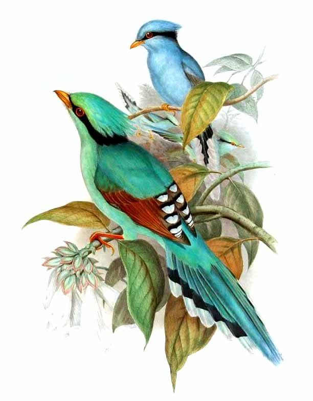 Common Green Magpie John Gould Oiseaux Vintage Art A Theme
