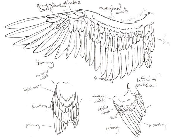 wing anatomy by niffler13 deviantart com on  deviantart