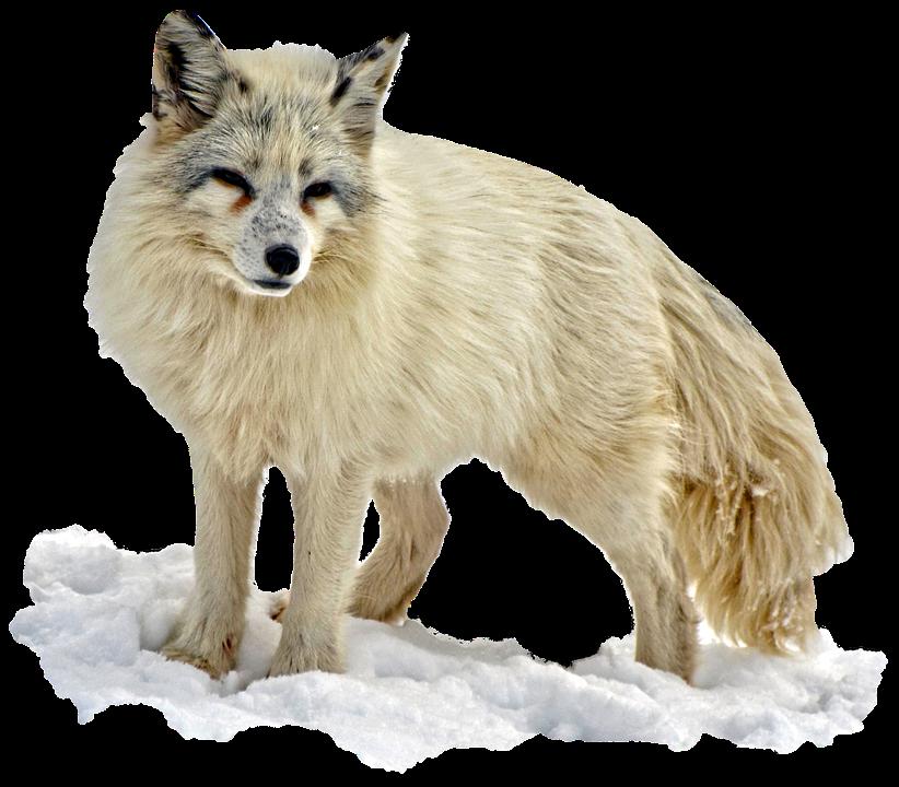 Arctic Snow Fox Png Image Arctic Fox Fox Images Arctic