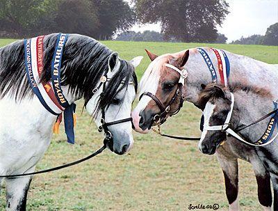 Welsh Ponies of Bellingara Stud at Bathurst Royal. Family potrait