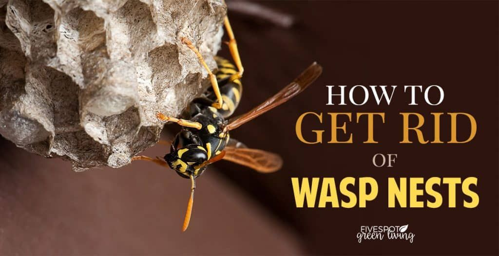 How to Get Rid of Wasp Nest Get rid of wasps, Wasp nest