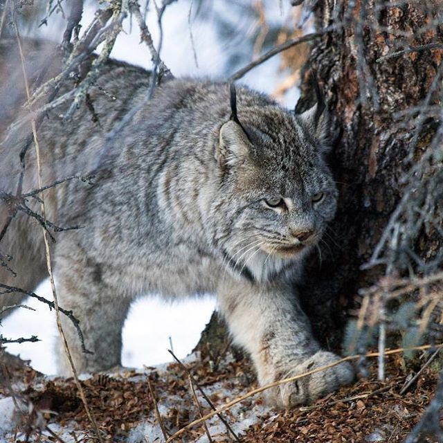 A Canada Lynx roams the boreal forest of Denali National Park in Alaska. Underfoot is a Red Squirrel midden of spruce cones.