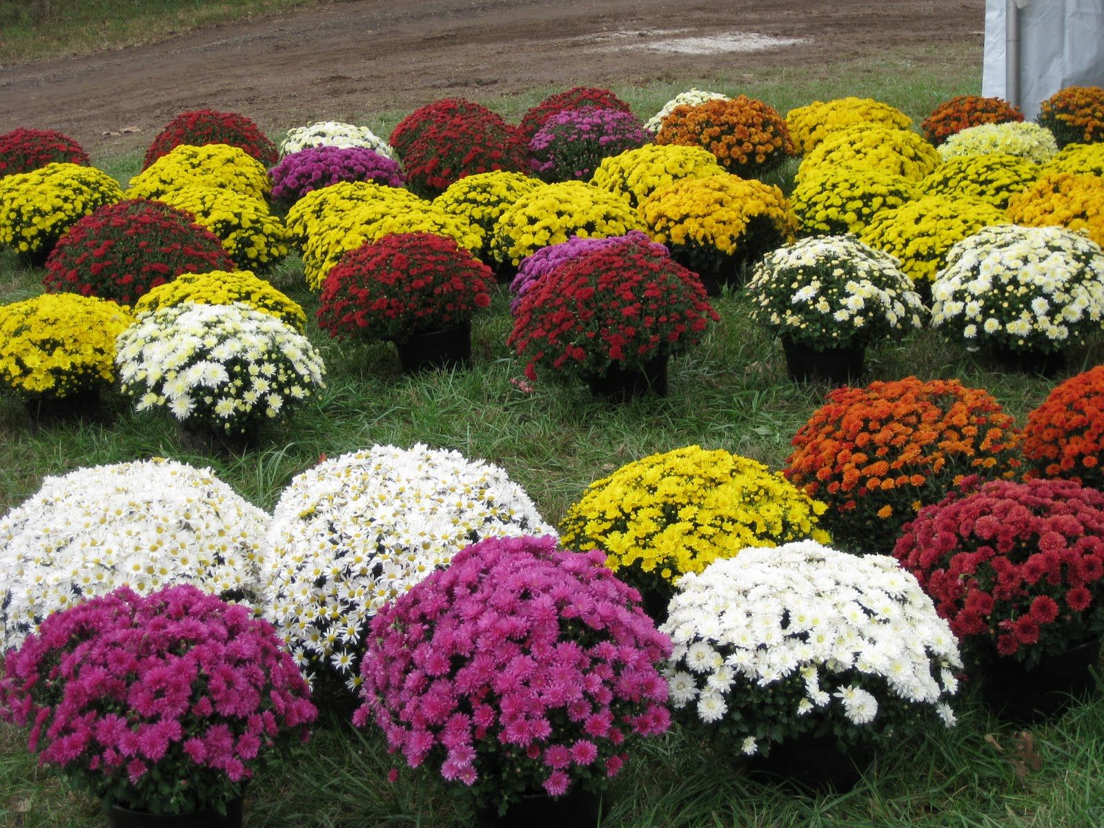 Hardy Garden Mums