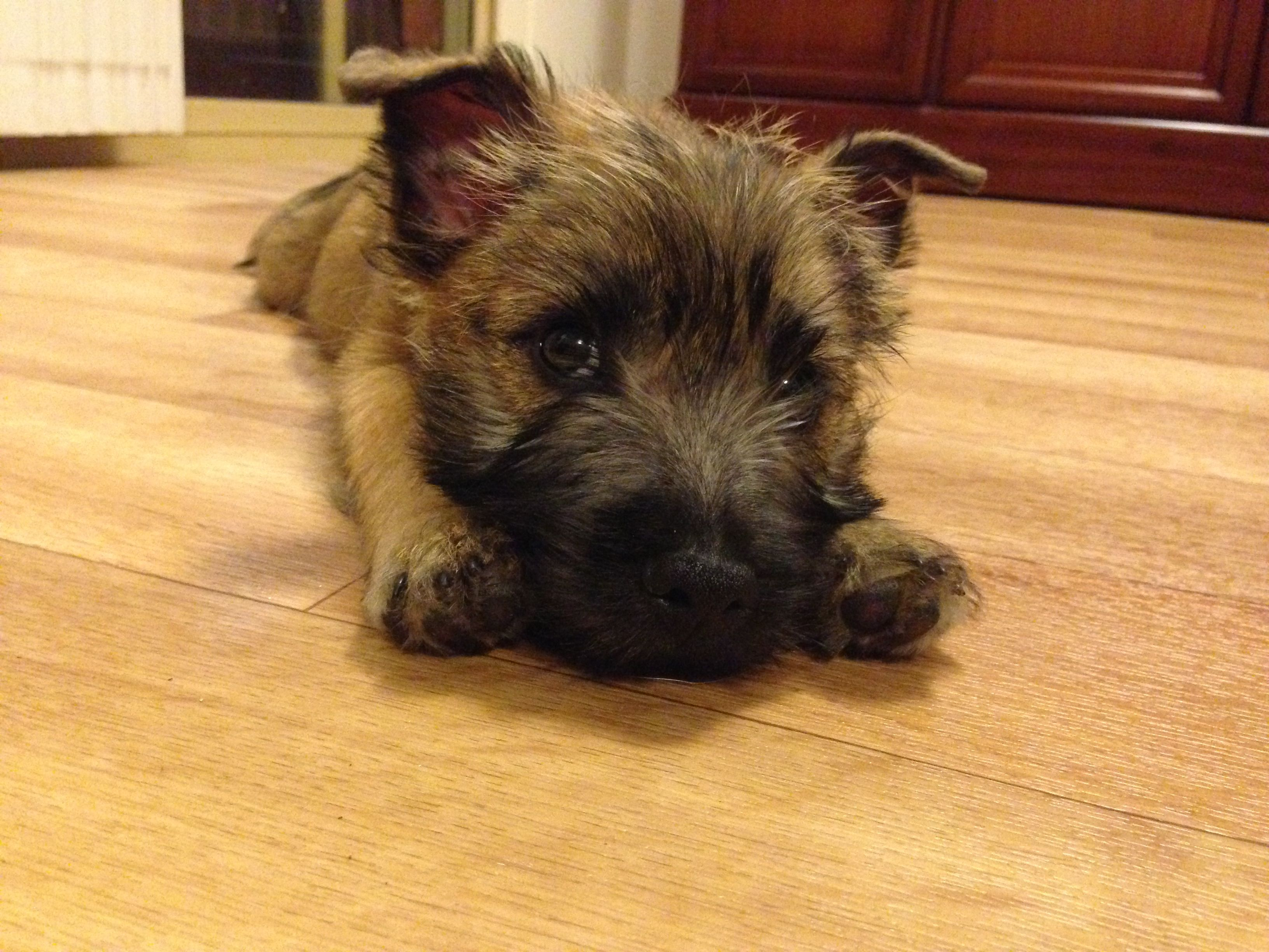 Cairn Puppy First Day At New Home Terrier Puppies Cairn