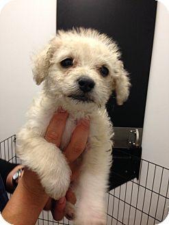 Marina Del Rey Ca Miniature Poodle Mix Meet Blitzen A Puppy