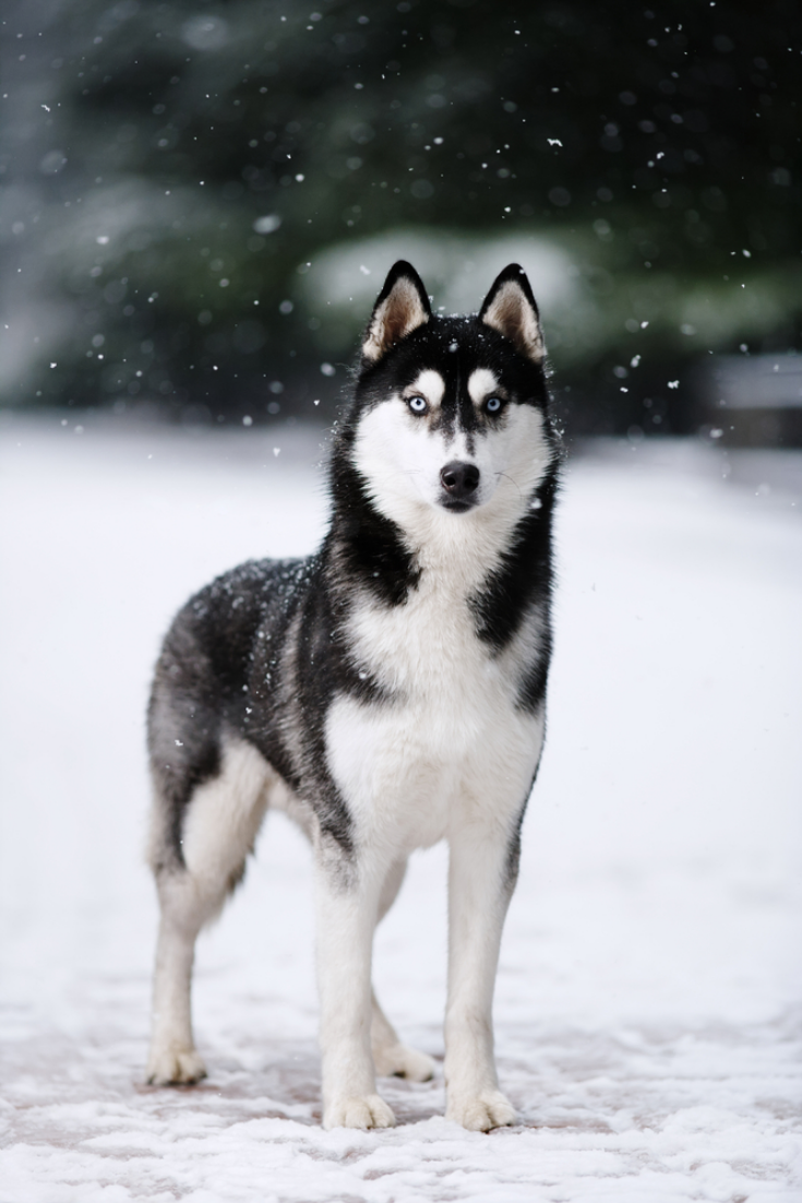 16 Husky In 2020 White Siberian Husky Husky Dogs Siberian Husky Dog