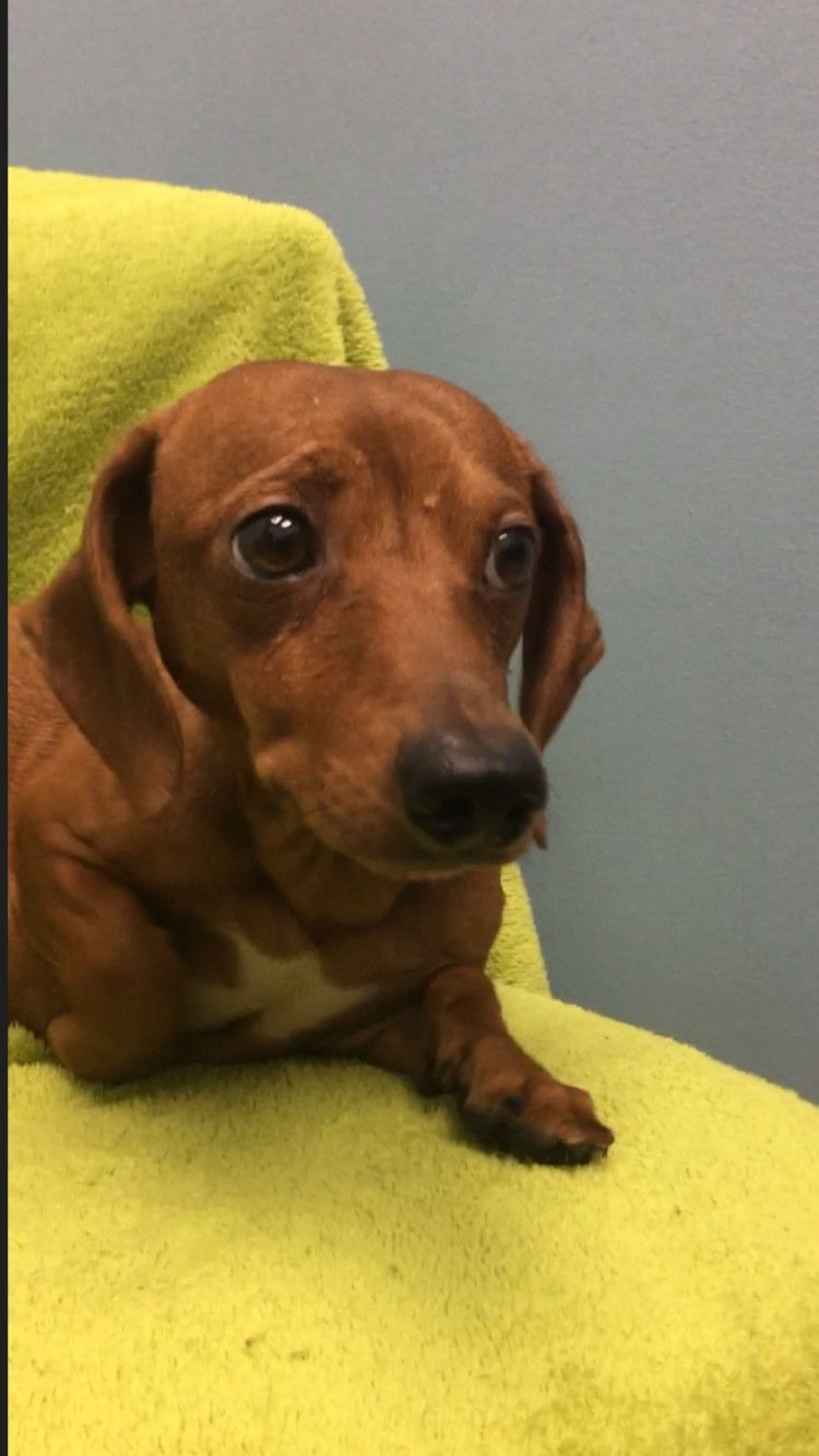 Adopt Mia On Dachshund Breed Dachshund Dogs
