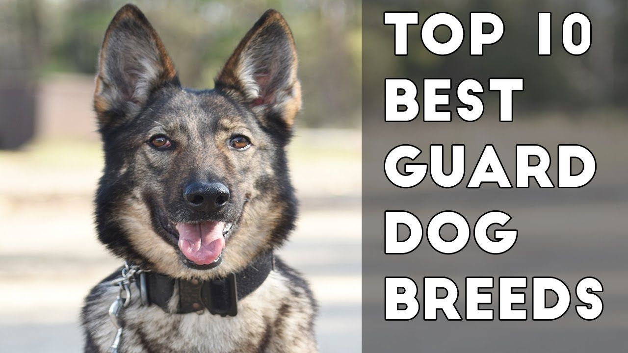 10 Best Guard Dog Breeds Protecting Owners Guard Dog Breeds