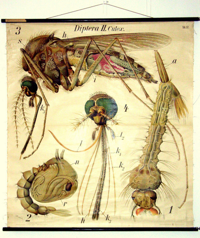 Wall Chart - Mosquito - By Dr. Paul Pfurtscheller Vienna - Printed ...