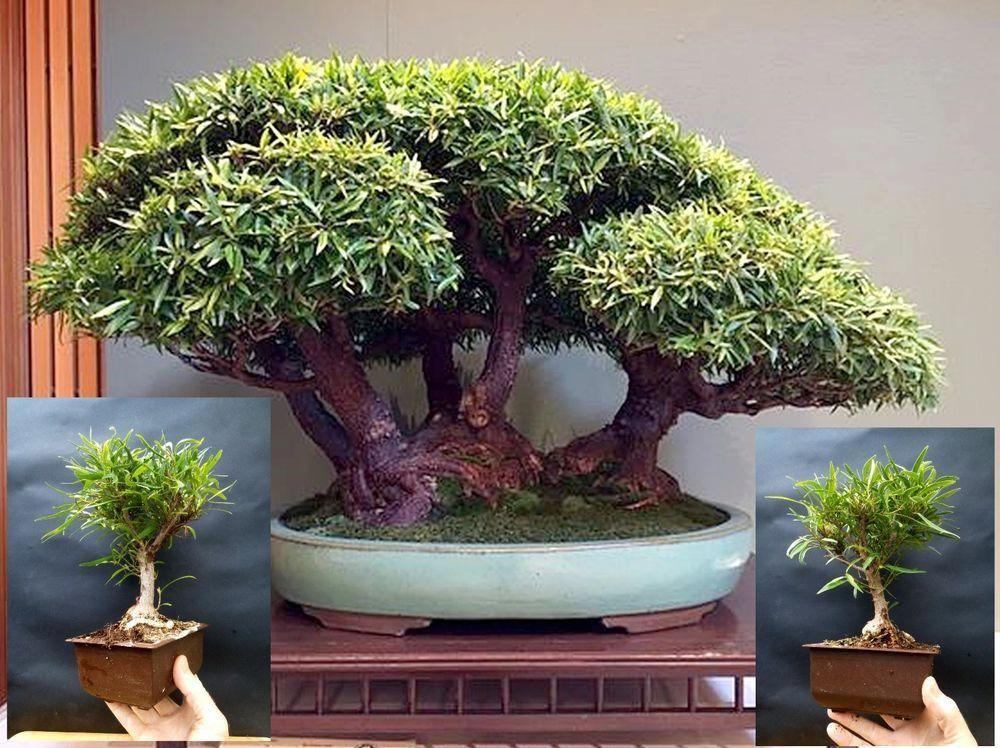 Ficus Nerifolia Bonsai A Very Amazing And Special Tree Indoorbonsai Indoor Bonsai Tree Indoor Bonsai Juniper Bonsai