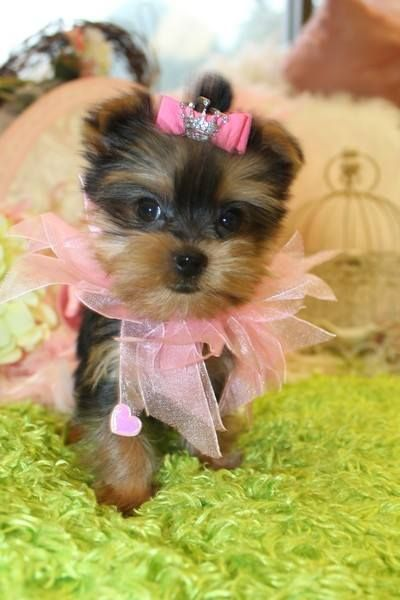 Teacup Yorkie Puppy For Sale In Florida With Images Teacup Yorkie For Sale Teacup Yorkie Yorkies For Sale