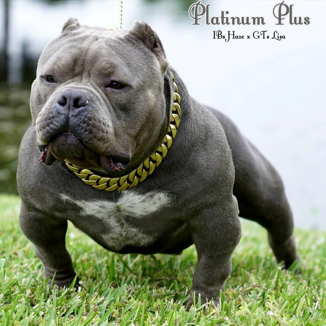 American bully in 2020 American bully pocket, American