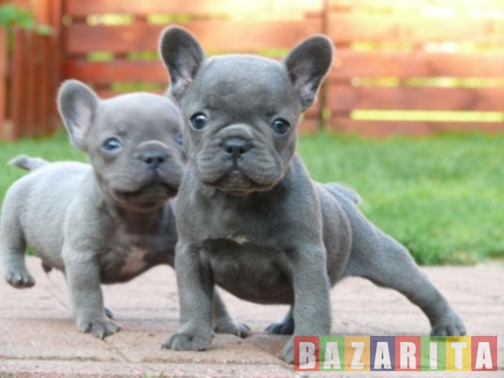 French Bulldog Puppies For Adoption Puppies