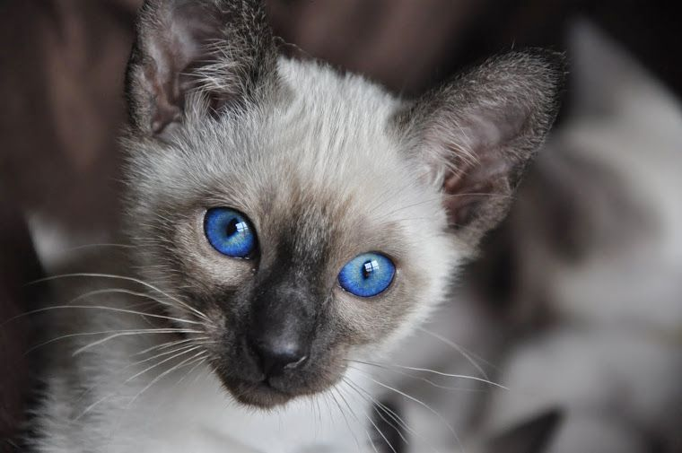 Carolina Blues Cattery Siamese Kittens for Sale | Siamese ...
