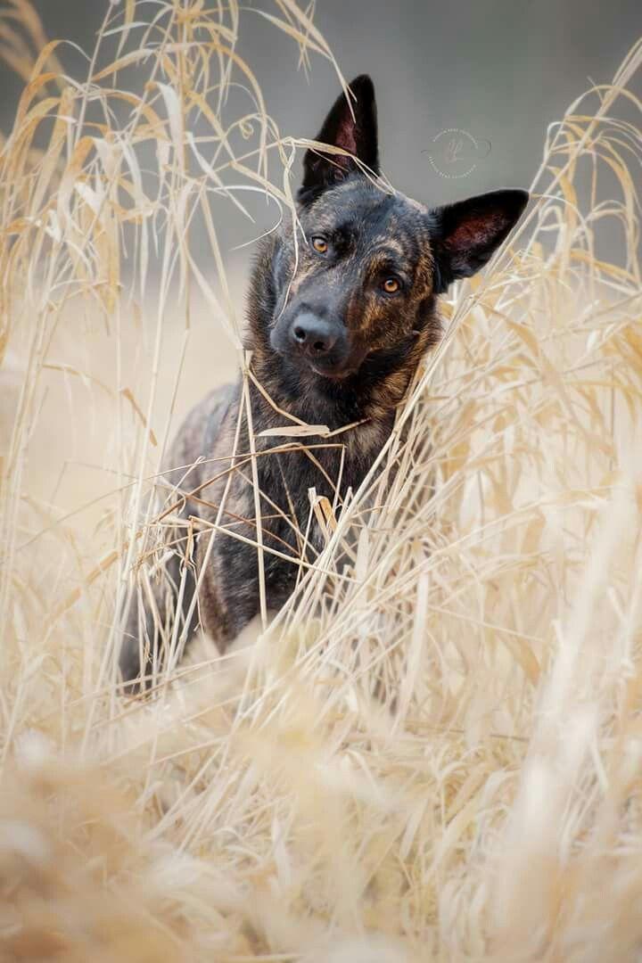 Www Kerstin Benz De Dogs Hunde Hollandischer Schaferhund Hollandse Herderhond Photography Dog Portrait Hollandischer Schaferhund Hunderassen Und Hundefotos