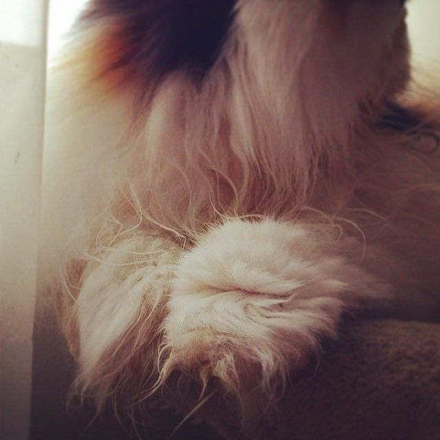Mia (and Bowie) sign the  against declaw - #animalwelfare #Bowie #cats #catshows #catsofinstagram #catstagram #cute #declaw #instacat #Mia #nostumpytoes #PawPledge #Persian #persiancat #petsofinstagram #SIGN #Toronto #Persian