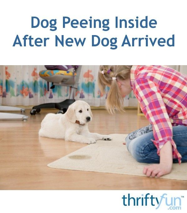 Dog Peeing Inside After New Dog Arrived Dog Urine Dog Training