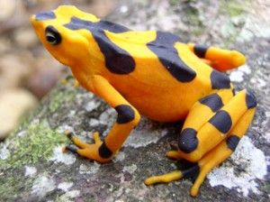 Panamanian golden frog - gone from the wild?