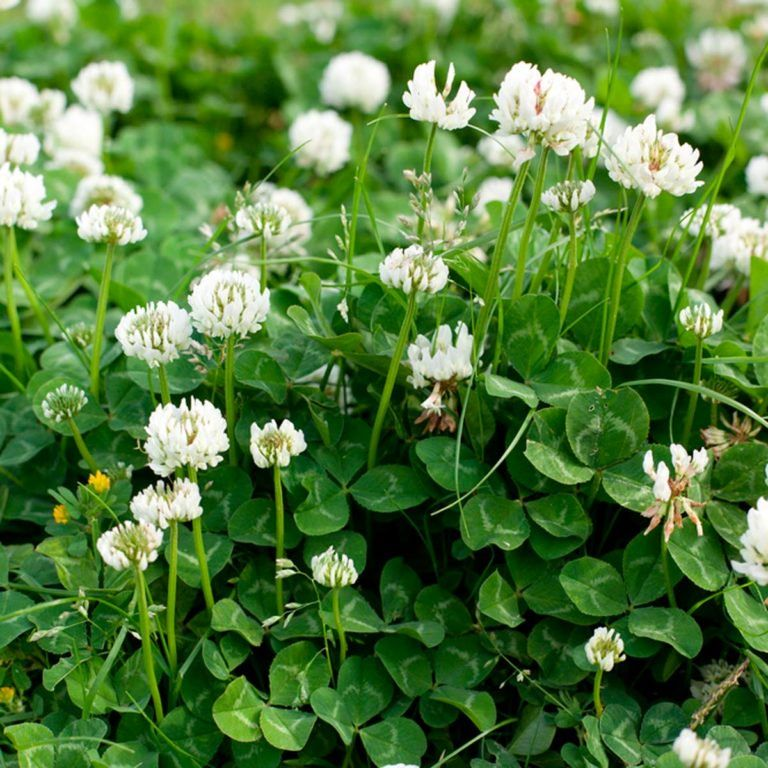 Pin By Linda Weldon On Flowers Clover Seed Clover Lawn Clover Plant