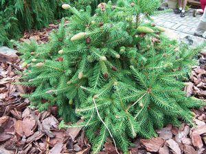 Picea Abies Acrocona Pusch Dwarf Norway Spruce Gardens Flowers