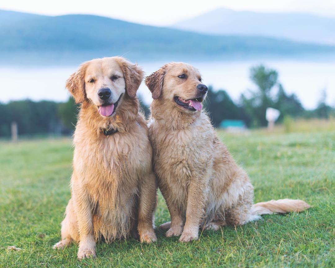 Idea By Rhonda R On Golden Retrievers Retriever Puppy Golden Retriever Dog Cat