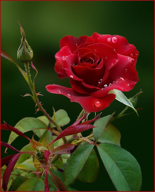 Wet Rose Flowers Red Roses Pretty Flowers