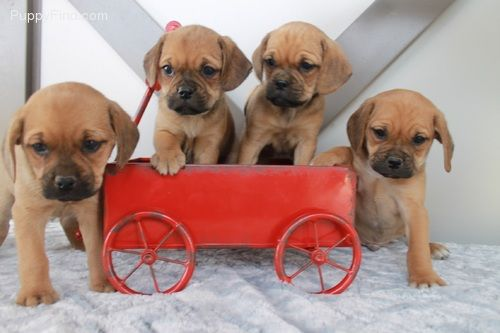 Puggle Pictures Zg360v5t7l8 Puggle Puppies Puppies For Sale